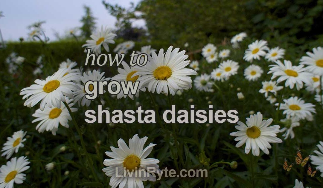 How To Grow Shasta Daisies
