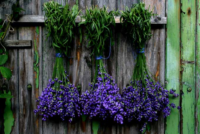 Lavender bunch hanging on a wall