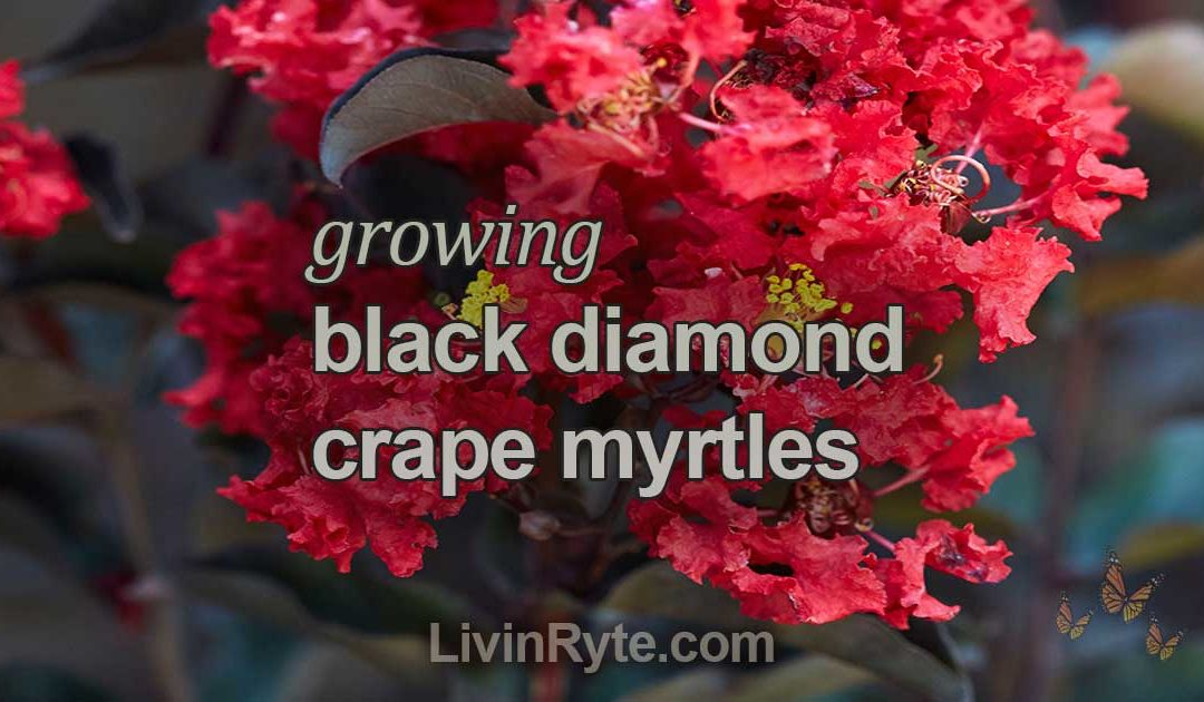 Black Diamond Crape Myrtle