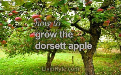Dorsett Apple Tree